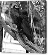 Macaws Of Color B W 15 Acrylic Print