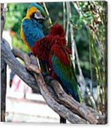 Macaws Of Color24 Acrylic Print