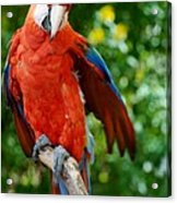 Macaws Of Color30 Acrylic Print