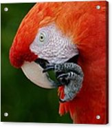 Macaws Of Color32 Acrylic Print