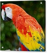 Macaws Of Color33 Acrylic Print