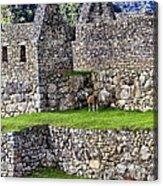 Machu Picchu - Grazing Lamas Acrylic Print