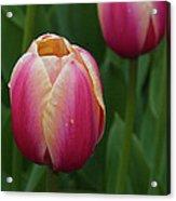 Mackinac Tulip 10386 Acrylic Print