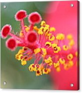 Macro Close Up Of Hibiscus Pollen  Acrylic Print