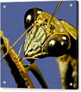 Macro Closeup Of The Chinese Praying Mantis Cleaning Himself After Eating A Live Cricket Acrylic Print