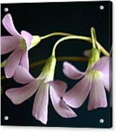 Macro Clover Acrylic Print