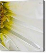 Macro Daisy Acrylic Print by John Holloway