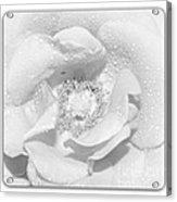 Macro Image Of A Rose Acrylic Print