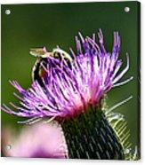 Macro Micro Bee Acrylic Print