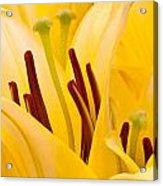 Macro Oriental Lilies Acrylic Print