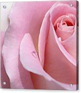 Macro Pink Rose Flower Raindrop Acrylic Print
