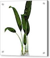 Macrotaeniopteris Prehistoric Plant Acrylic Print