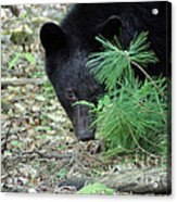 Mad Bear Acrylic Print