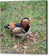 Madarin Duck Acrylic Print