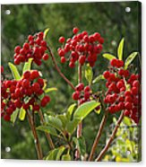 Madrone Berries Acrylic Print