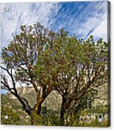 Madrone Trees Acrylic Print