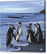 Magellanic Penguin Trio On Beach Acrylic Print