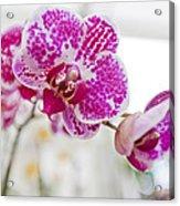 Magenta Ears Orchid Acrylic Print