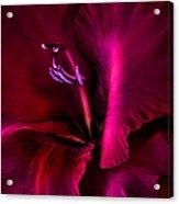 Magenta Gladiola Flower Acrylic Print