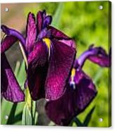 Magenta Iris Acrylic Print