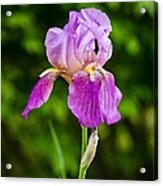 Magenta Iris Profile Acrylic Print