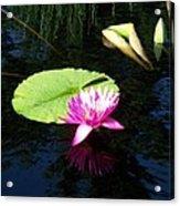 Magenta Lily Monet Acrylic Print