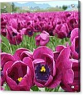 Magenta Tulips Acrylic Print