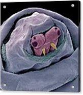 Maggot Head, Sem Acrylic Print by Science Photo Library