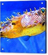 Magic Puffer - Fish Art By Sharon Cummings Acrylic Print