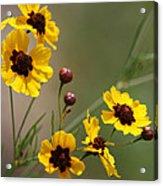 Magical Coreopsis Tinctoria Wildflowers Acrylic Print