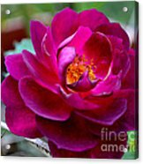 Magical Rose Acrylic Print