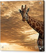 Magical Savanna Acrylic Print by Pete Reynolds