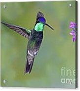 Magnificant Hummingbird Acrylic Print