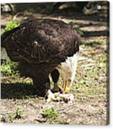 Magnificent Bald Eagle Breakfast Acrylic Print