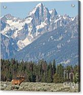 Magnificent Elk Acrylic Print