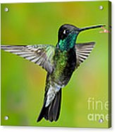 Magnificent Hummingbird Acrylic Print
