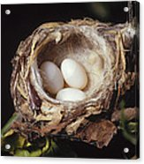 Magnificent Hummingbird Eggs Acrylic Print