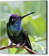 Magnificent Hummingibrd Male Acrylic Print