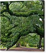 Magnificent Oak Alley Tree Acrylic Print