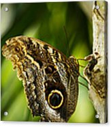 Magnificent Owl Butterfly Acrylic Print