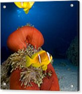 Magnificent Red Anemone With Anemone Fish Acrylic Print