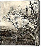 Magnificent Shoe Tree Near San Felipe Road Acrylic Print