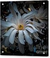 Magnoila Tree Blossum Acrylic Print