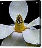 Magnolia Beauty Acrylic Print