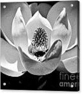 Magnolia Bloom 2bw Acrylic Print