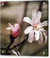 Magnolia Blooms Acrylic Print