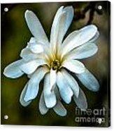 Magnolia Blossom Acrylic Print