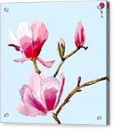 Magnolia Blossoms Acrylic Print
