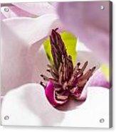 Magnolia Flower Acrylic Print