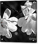 Magnolia Flowers Acrylic Print by Elena Elisseeva